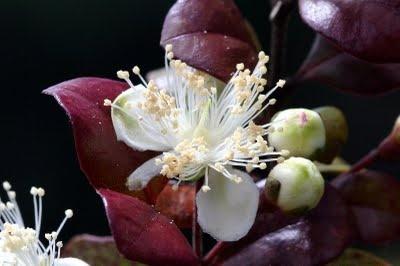 Lophomyrtus