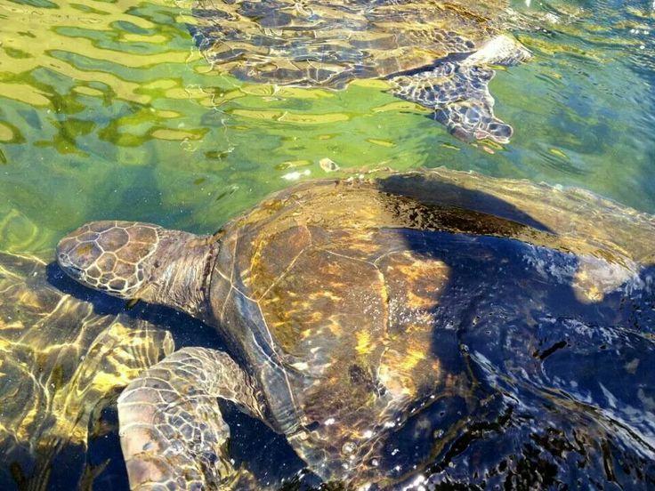 Swimming with sea turtles, Hervey Bay - Australia