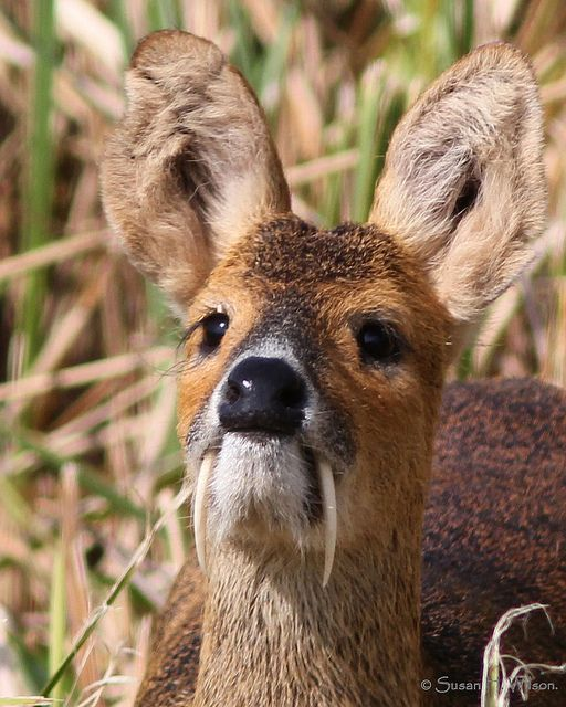 Chinese Water Deer are peaceful creatures who instead of antlers, have a pair of prominent tusks. They are used for territorial fights with other males during mating season.