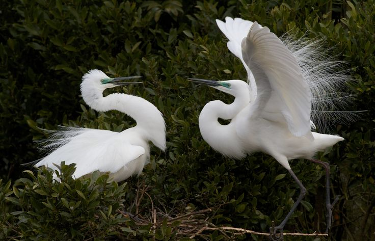 Our beautiful NZ Kotuku (white Herons).  See them at White Heron Sanctuary Tours, Whataroa, West Coast