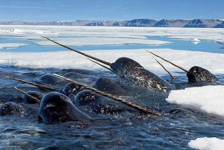 La licorne des mers, menacée par le réchauffement climatique