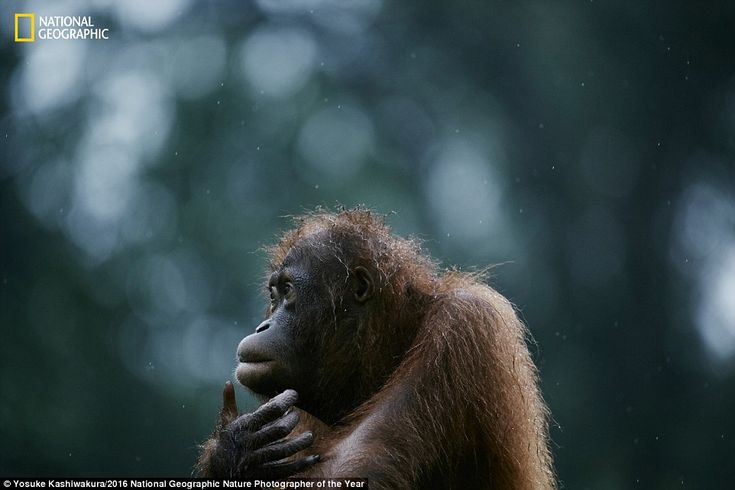 An orphan orangutan appears to scratch his chin as he looks around his habitat of the isla...