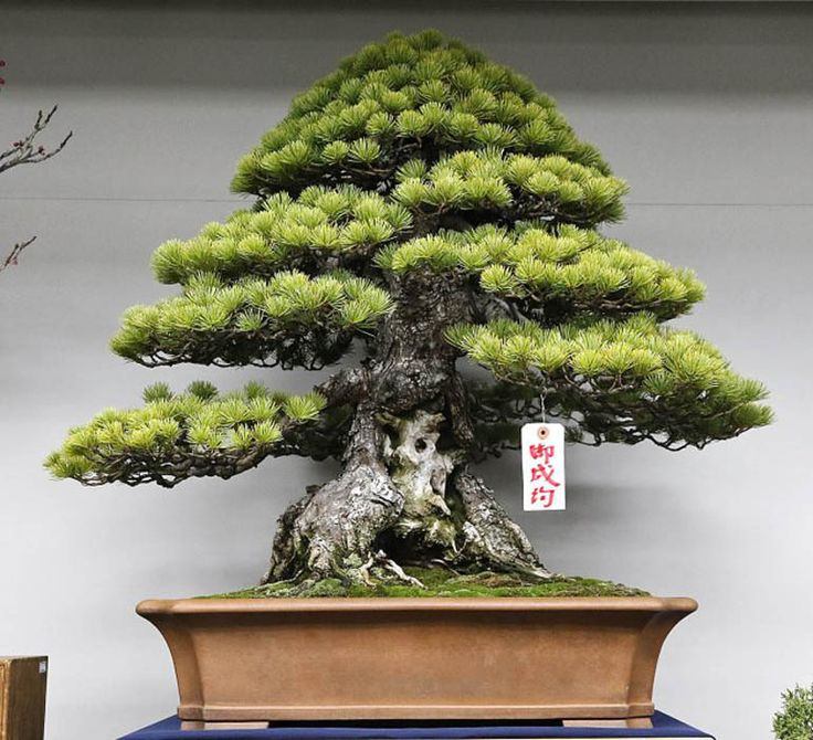 25 best ideas about bonsai trees for sale on bonsai for sale indoor bonsai tree