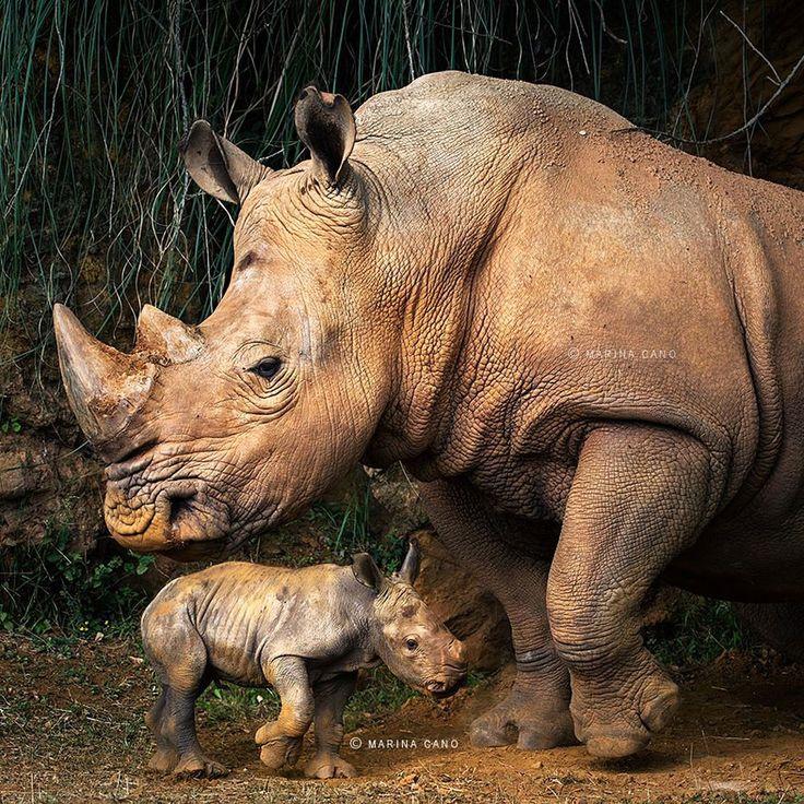 Rhino With Her Young Calf.  (animal-wildlife-photography-marina-cano-14 )