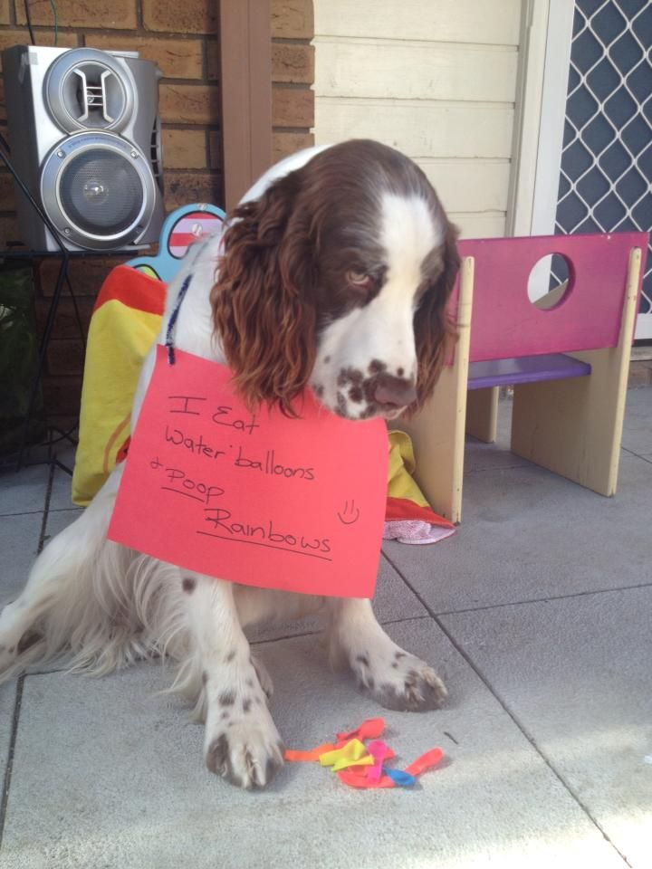 Best Dog Shame Images On Pinterest Fisher Price Funny - They gave this tiny dog some water balloons what happens next is hilarious