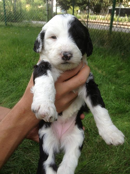 21 best images about Sheepadoodle Puppies on Pinterest ...