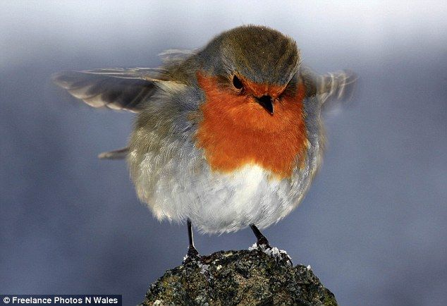 This delightful robin red breast plumps up his downy chest to protect himself from the worst of the winter weather.  The friendly little fellow joined millions of Britons struggling in the harsh conditions as he was pictured in chilly Llanberis, Snowdonia.