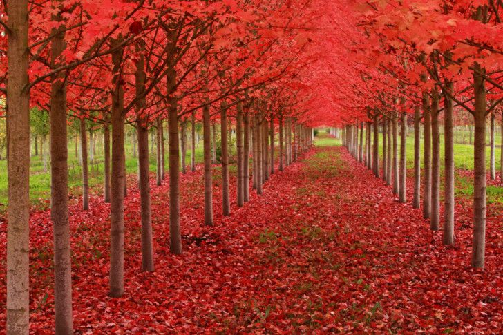 Taken in St. Louis, Oregon, this image of maple trees in the peak of their autumn color is unbelievably striking