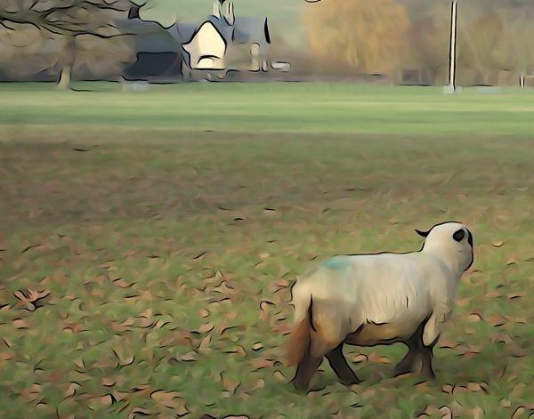 Home farm Oxford down sheep