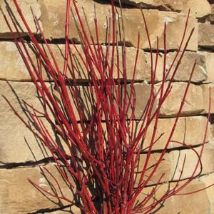 Cornus amomum 'cayenne'.  White flowers similar to redtwig dogwood.  Leaves turn red-purple in fall with blue berries.  Red twigs for winter interest.  Likes sun, wet locations.  Zones 4-8