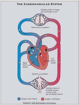bio 250 cardio heart Free essay: cardiovascular system: the heart laszlo vass, edd version   name: nikia martinez class: biology 240l l3-1201 assignment:.