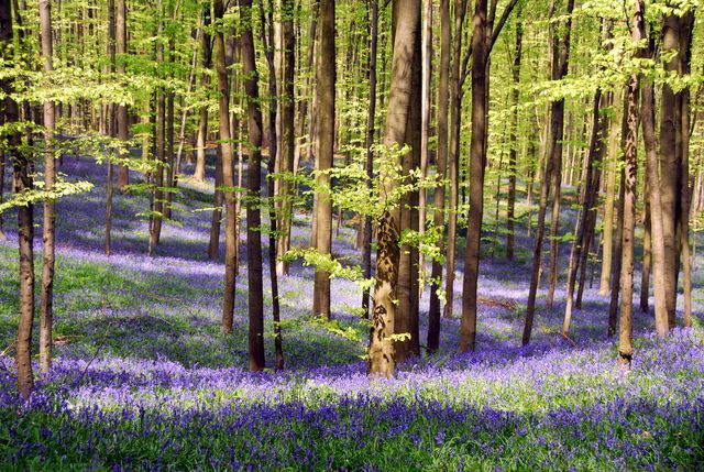 The Most Beautiful Wildflower Destinations in the World: Hallerbos, Belgium