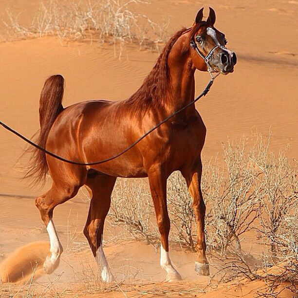 Mighty Fine Looking Chestnut Arabian Standing in the Desert.