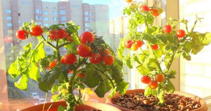 Ešte ste nezasadili cherry paradajky? Nuž, je hodina dvanásta, preto by ste sa mali urýchlene rozhýbať, inak vás minie najlepšia úroda. Čerstvá zeleninka je mimoriadne prospešná nielen pre zdravie apre ľudské telo ale aj pre naše peňaženky. Ak ju máme zdomu, dokážeme výrazne ušetriť. Pokojne ju môžeme pestovať aj na parapete. Ako také cherry paradajky. …