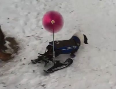 A disabled dachshund has been given a set of skis, so she can still get about in the snow.Susan Freeman created the skis for her precious pooch Molly, when she suffered from intervertebral disc …