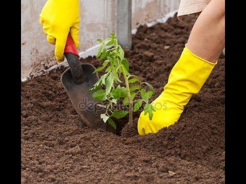 Как посадить томаты .Самый простой способ