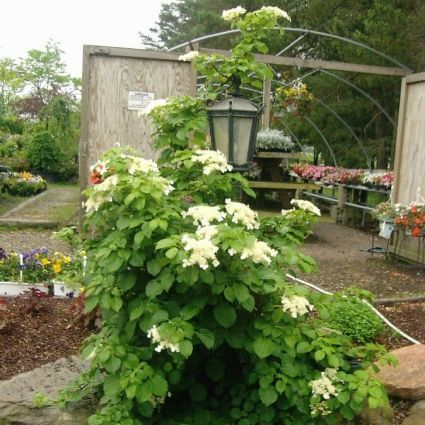 The Climbing Hydrangea vine is an extremely versatile vine with year-round interest.