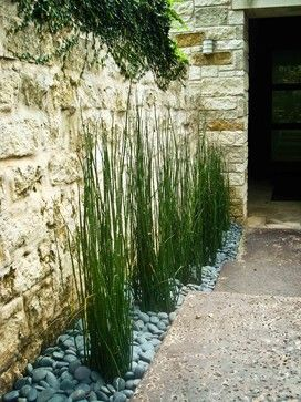 "The root invasive perennial's common name is horsetail, the botanical name is equisetum hyemale. Best used in confined areas and grown in medium to wet soils in full sun to part shade. Best in planters or contained as in this photo. 36""-40"" tall"