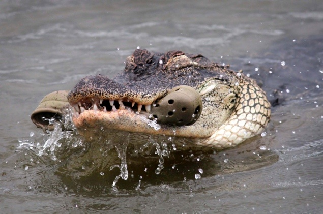 Even a Gator doesn't want a tough Croc!