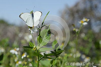 The Great Southern White Butterfly (Ascia monuste) is common in the southeastern states.
