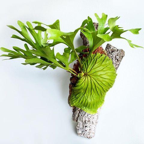 platycerium staghornferns