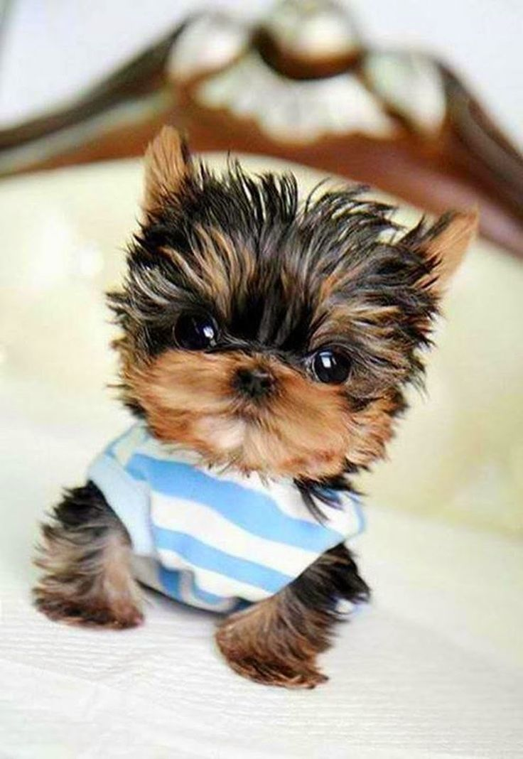 Top 5 Teeny Tiny Puppies You Must See Now                              …                                                                                                                                                                                 More