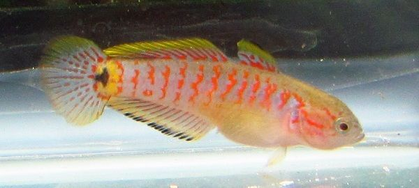 17 best images about gudgeon on pinterest peacocks live for Freshwater tropical fish online