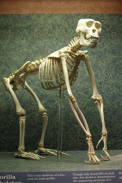 Gorilla Skeleton by Youngest Son, via Flickr