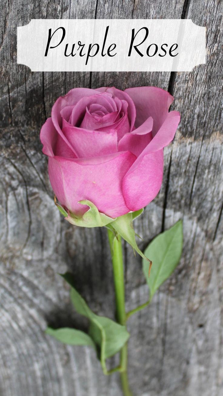 Purple rose 'cool water'