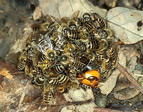 """""""When confronted with their arch-enemy, the aggressive giant Asian hornet, the honeybees will attack it by swarming en masse around the hornet and forming what scientists call a """"hot defensive bee ball"""" - a move unique to their species.    With up to 500 bees all vibrating their flight muscles at once, the bee ball cooks the hornet to death."""""""