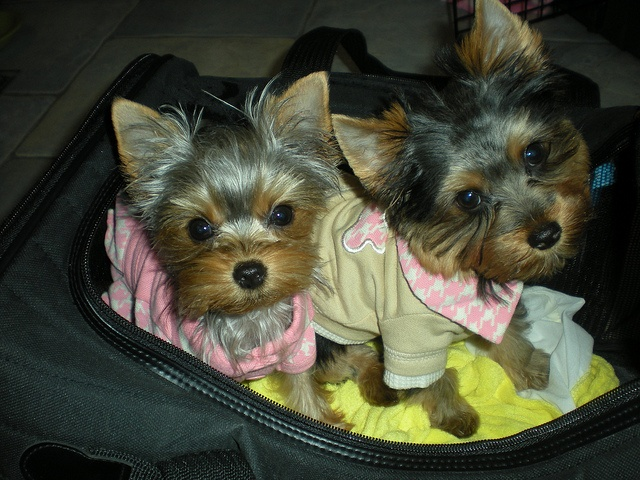 170 best images about Yorkies on Pinterest | Merry ...