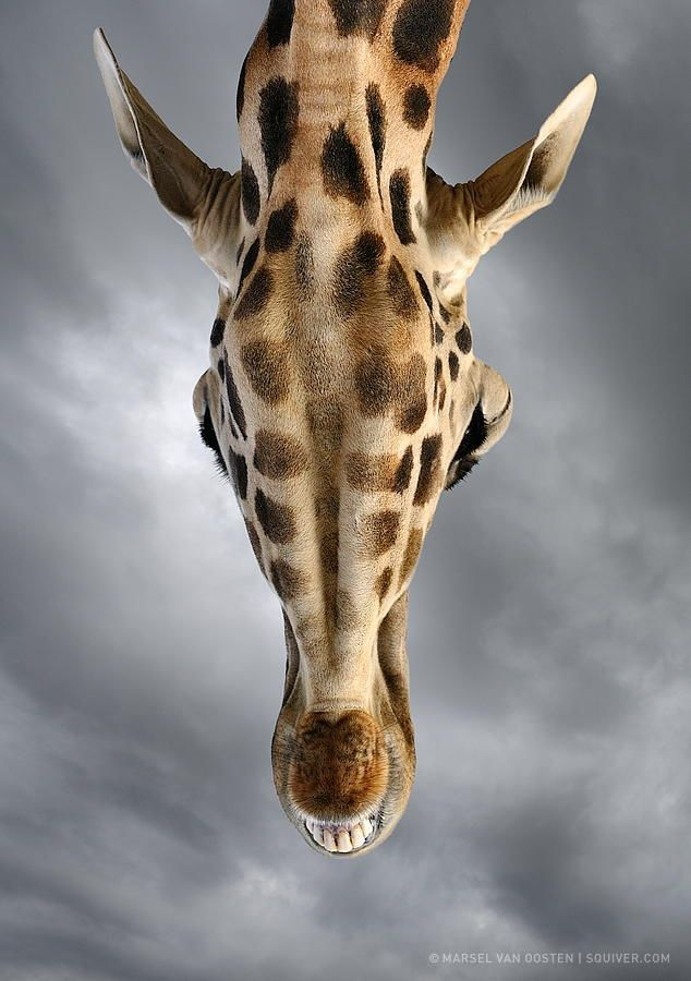 Looking Up by Marsel van Oosten