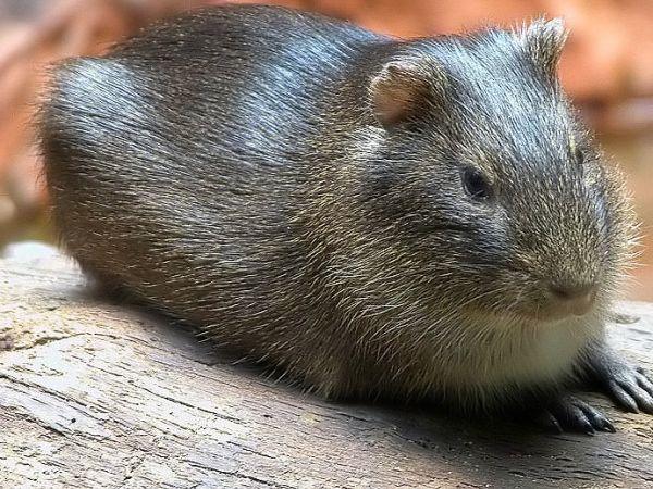 Considerado a espécie de mamífero mais rara do mundo, existem apenas 60 exemplares de preá que vivem em Santa Catarina, em locais protegidos por leis: http://abr.io/3YFj