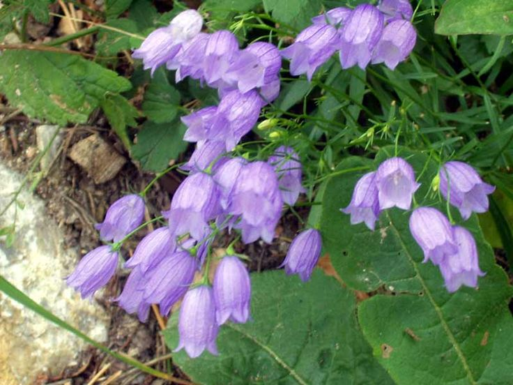 Canterbury Bells    Steps to Create an English Country Garden:  1. Choose Features  2. Create Areas  3. Grow Dividers  4. Build a Fence  5. Add an Arbour  6. Build a Gate  7. Plant Pathways