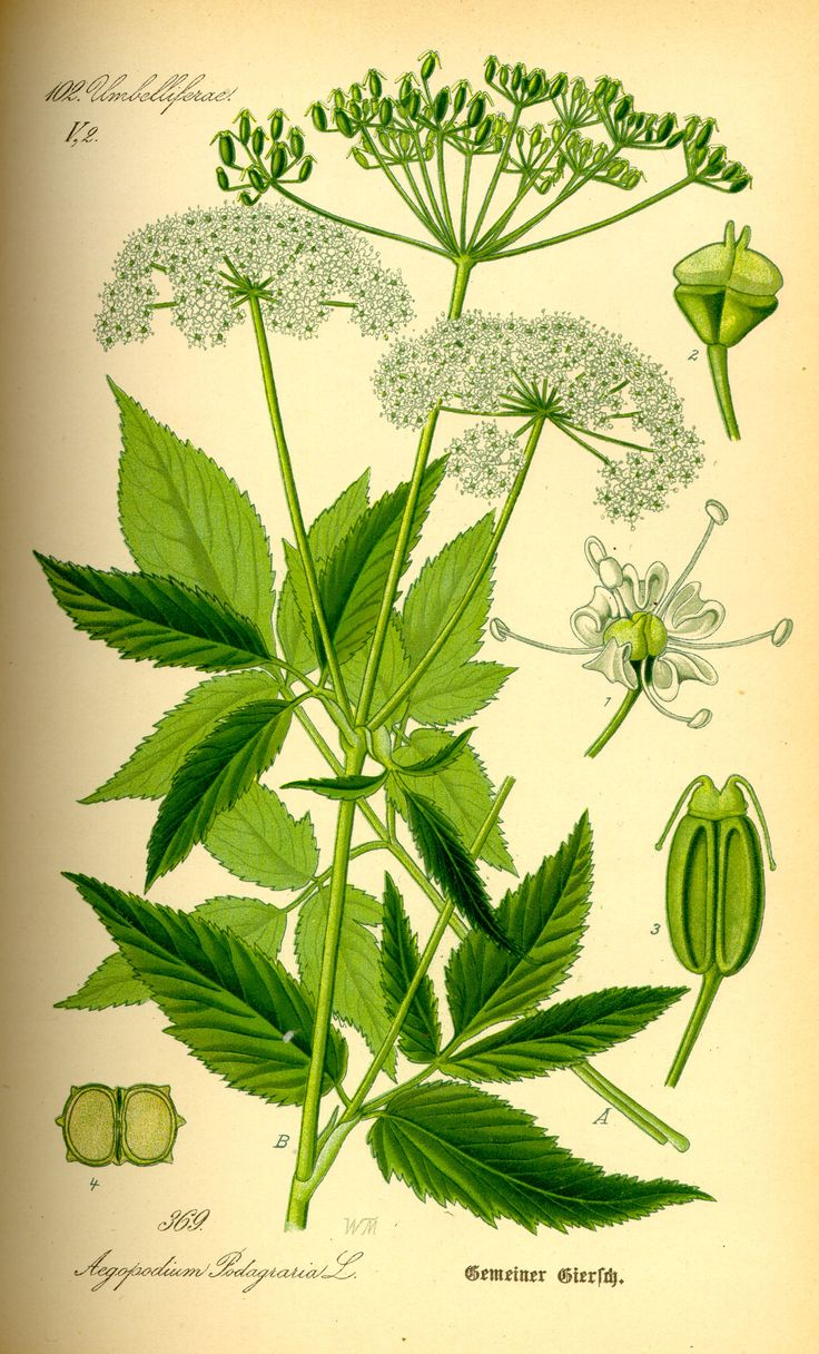 GOUTWEED HAS A FOOT HOLD-{HERBAL APPLICATION}