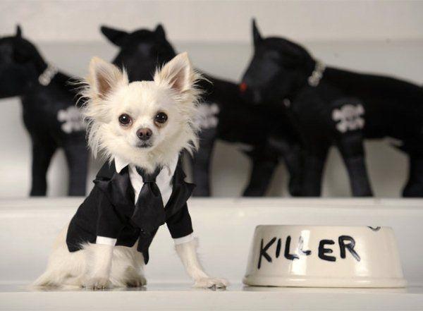 Ropa para perros chihuahua, modelos exclusivos   Nombres para Mascotas  