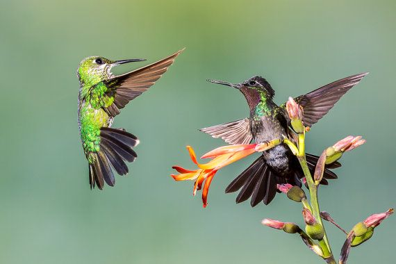 A Green-crowned Brilliant confronts a Purple_throated Mountain-gem for prime real estate on a tasty flower -- photographed in the cloud