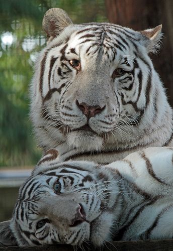 witte tijger Ouwehands IMG_0488