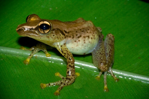 New species in the Guibemantis genus. Photo by: Gonçalo M. Rosa.: Photo