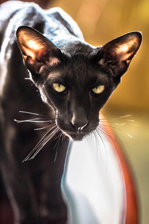 17 Best Images About Oriental Shorthair Cat On Pinterest