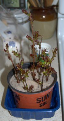 How to start a crape myrtle from a cutting.