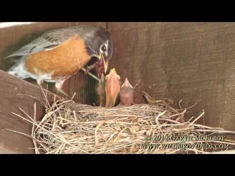 Nesting American Robins - Maine.  This is a very sweet video of a robin feeding her young.  Fascinating to watch.