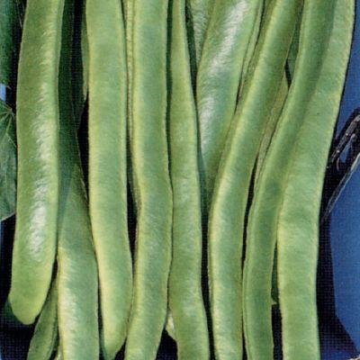 RUNNER BEAN Enorma Elite (The Organic Gardening Catalogue)