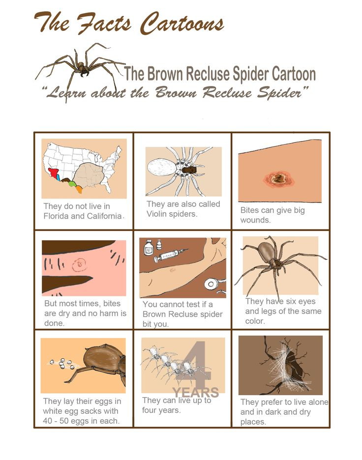 The official Brown Recluse spider cartoon Brown recluse