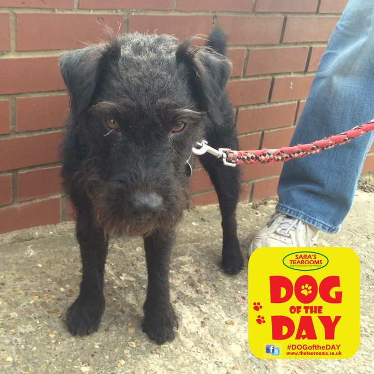 Ziggy, a 3 year old Patterdale Terrier......Hey I'm a cute dog too. But my heart is as big as you!!!