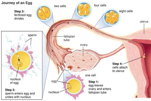 Female Reproductive System, How It Works, Pictures, Functions Of Female  Anatomy, Pregnancy, Menstrual Cycle