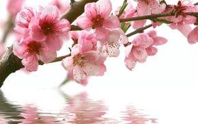 Обои весна, сакура, ветка, цветы, розовые