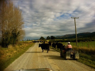 Moving cattle, South Canterbury, NZ. Southern Blast