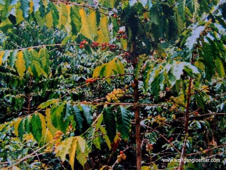 Und hier wächst der berühmte Kona Kaffee. Island of Hawaii