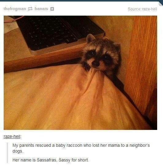 Awwwww Sassy the baby racoon! So cute